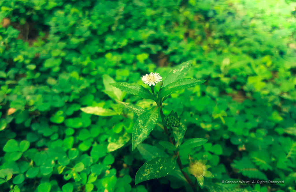 Beggarweed With Chickweed Background