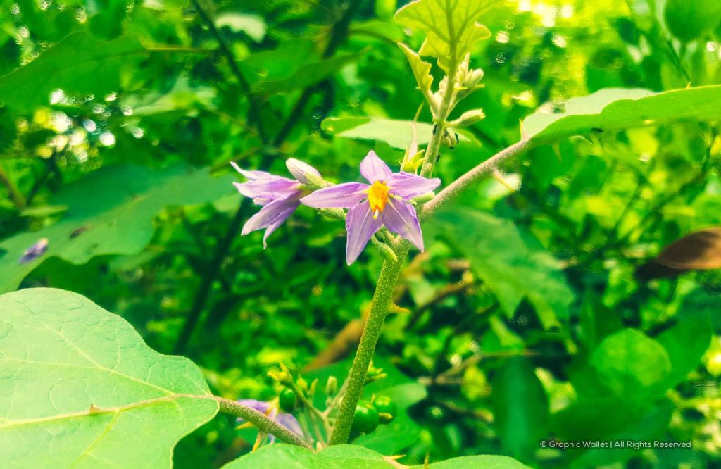 Solanum Indicum Flowers Background